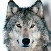 Afbeeldingsresultaat voor wolven
