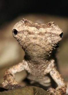 Brookesia Micra - The Smallest Chameleon in the World
