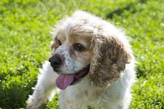 Nemo is an adoptable Cocker Spaniel Dog in Methuen, MA. Personality plus is Mr. Nemo, a six year old who is looking for a new home because his previous owner didn't have the time for him due to work. ...