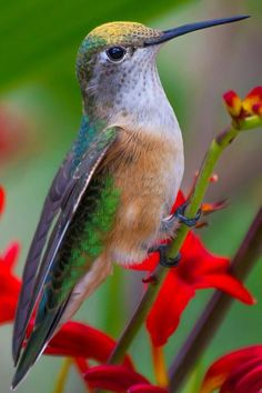 """Taking a Break - Photo by David Yegerlehner (""""This little hummingbird decided to take a little break from feeding and rest a little in a branch."""")"""