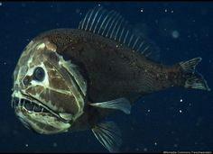オニキンメ 分布域はほぼ全世界の外洋。幼魚は表層でプランクトンとして生活するが、成魚は水深500-3000 mの深海に生息。キンメダイに近縁の種類だが、それとはかけ離れた異様な姿だ。和名の由来は幼魚にある角状の突起だが、成長すると消える。幼魚のうちは色がうす桃色で、目が大きいなどキンメダイ科の特徴を残すが、成魚になると真っ黒な異様な風貌に変化する。恐ろしげな外観だが、体長は普通10cmで、最大でも16cmほどにすぎない。