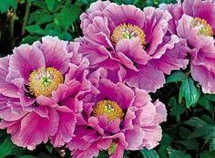 Купить или заказать Картина  вышитая лентами 'Цветок из Китая - ПИОН' в интернет-магазине на Ярмарке Мастеров. ПРОДАНО. Картина находится в частной коллекции. Однажды, гуляя по летнему саду, Я шла, наслаждаясь зелёной прохладой, Почудился тонкий, разрозненный хор, О ярком пионе цветы вели спор: - Напыщен, чванлив и заносчив пион... - Несказанно дерзок и самовлюблён... - Он хвастался розу затмить, но не смог... (Недоброй молвой оклеветан цветок!!!) Тщеславным иль глупым его не зови, Дл...