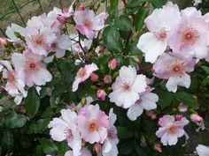 'Astronomia' Rose Photo