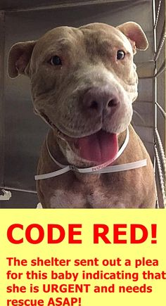 CANELA - ID#A1828204 I am a spayed female, fawn Pit Bull Terrier. The shelter staff think I am about 2 years old I have been at the shelter since Nov 07, 2016. —Miami Dade Animal Services Pet Adoption and Protection Center. https://www.facebook.com/urgentdogsofmiami/photos/a.1067105343323868.1073742077.191859757515102/1365224893511910/?type=3&theater
