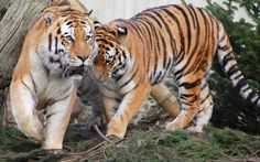 Tiger nudge