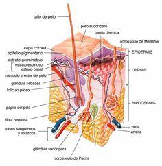 Diaforéticos - Glosario plantas medicinales