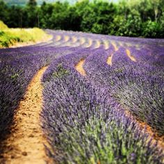 Campos de lavanda en la Provenza. Fields of lanvendine in the Provence Lavander, Country Roads, Lavender Fields, Provence, Vacations, Europe, Cities, Bonito, Paisajes