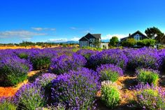 I think lavender is a summer thing but I'd love to see the lavender fields in Sequim Grand Junction Colorado, State Of Colorado, Colorado Homes, Provence, Oh The Places You'll Go, Places To Travel, Places To Visit, Sequim Washington, Washington State