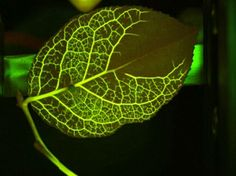 Awesome Biomimicry: Leaf Veins Inspire New Model for Water and Electricity Distribution Networks : TreeHugger