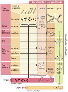 La digestion chimique - Bilan - Le blog de jerome harlé