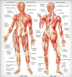 human muscle anatomy diagram | human muscles anatomy are given, Muscles