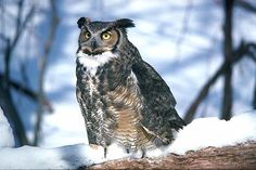 """I have developed a huge love for this amazing bird of prey ever since spotting one near my house on Long Island.  I've even learned to like their very early morning, and loud, """"who, who, who""""s   Great Horned Owl  - Largest Owl seen on Long Island"""