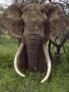 Africa |  A tusker bull elephant with massive tusks browses in the bush, Ol Donyo Wuas, Chyulu Hills, Kenya. |  © John Warburton-Lee