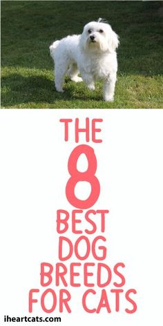 The 8 Best Dog Breeds For Cats! - Definitely A Must Read! :)