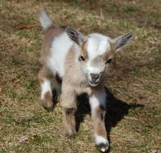 Nigerian Dwarf Goats - For Sale Cute Baby Animals, Farm Animals, Funny Animals, Pygmy Goats For Sale, Mini Goats For Sale, Cabras Animal, Tiny Goat, Pigmy Goats, Miniature Goats