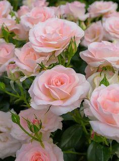 Розовые Цветы, Розовые Розы, Цветы Из Глины, Розовые Деревья, Цветы В Горшках, Цветущие Растения, Красивые Цветы, Посадка Цветов, Выращивание Роз
