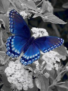 Blue butterfly... Color splash