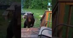 Injured Bear Drops By to Visit His Human Friend Seven Years Old, Wild Ones, Bear, Drop, Michigan, Bears