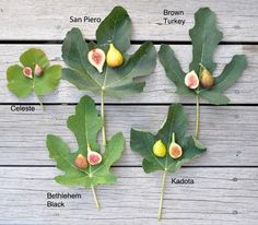 how to grow figs, with lee reich A Way To Garden is part of Growing fig trees - IF THERE IS A FRUIT that's the grail for growyourown, it's the fig too delicate to ship in peak ripeness, and [read more…] Growing Fig Trees, Growing Plants, Ficus, Backyard Garden Design, Garden Landscaping, Container Gardening, Gardening Tips, Fig Varieties, Fruit Plants