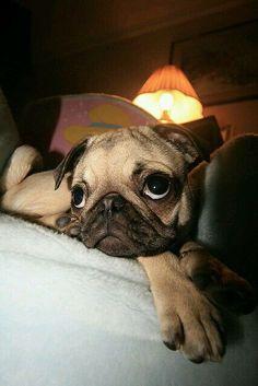 Pug with big eyes