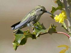 Backyard Wildlife In #Milwaukie Oregon. Anna's Hummingbird
