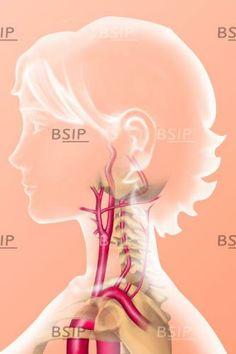 Arterial vascularization of the neck. © Marie Schmitt / BSIP