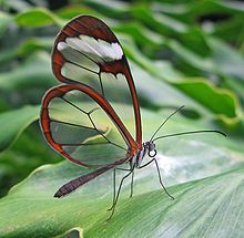 'The Glasswinged butterfly (Greta oto) has wings that are translucent.'