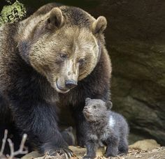 Grizzly mom and baby