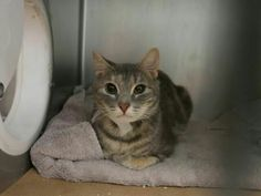 GHOST - A1119953 - - Brooklyn  ***TO BE DESTROYED 08/02/17***  SHY GHOST WAS SPAY ABORTED AND NEEDS A HOME OF HER OWN TONIGHT!  GHOST came in with a group of kittens including TWIN who is also listed tonight.  She was pregnant but since has been spayed – and now because of her timid purrsonality – GHOST is on tonight's list.  She was said to like petting and use her scratch post in the home she came from. CAN YOU RESERVE THIS GIRL THROUGH A NEW HOPE RESCUE