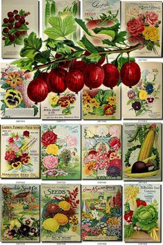 SEEDS-64 Catalogs Covers Collection with 95 vintage images  Pea, Bean, Radish.jpg014-Onion.jpg015-Sweet Peas.jpg016-Sweet Peas, 2.jpg017-Tomato.jpg018-Fern.jpg019-Roses.jpg020-Aster, Pansies, Phlox, Sweet Peas, Nasturtium, Verbena.jpg021-Squash, Tomato, vegetables.jpg022-Tomato.jpg023-Watermelon, Beet.jpg024-Corn, Beet, Bean.jpg025-Cherry.jpg026-Plum.jpg027-Red Currant.jpg028-Raspberry.jpg029-Rose.jpg030-Roses.jpg031-Geranium.jpg032-Lawn Grass, Golf playi