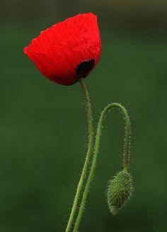 Poppy flower tattoo ideas inspiration flowers symbolism beautiful mightylinksfo