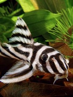 Zebra Pleco--LOVE this guy but at $300.00 plus????   Not any time soon!!!  :P