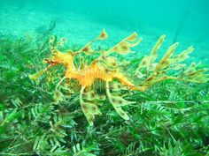 Birch Aquarium Aquarist Leslee spotted this beautiful leafy seadragon in the wild during her trip to Australia