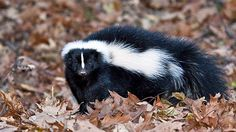 http://www.cbc.ca/gfx/images/news/topstories/2012/09/18/wdr-620-skunk.jpg