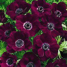 Poppy Anemone Burgundy.