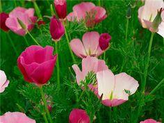 California Poppy, Purple Gleam Wildflower