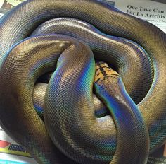 Motley GoldenChild reticulated python. GoldenChild is a Dominate pattern mutation that reduces all patterning to just a few speckles along the dorsal line. Typically a very dark snake with high iridescence.