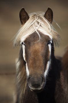 Hello beautiful badger-faced Icelandic horse! Badger face is such a cool & uncommon marking.