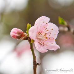 今朝は公園の遊歩道を歩きながら通勤。ほんの少し前までまっ白だった桜の木が、深い緑の葉っぱに覆われていました。その中で見つけました。ポツンと一輪、まだ残ってました。