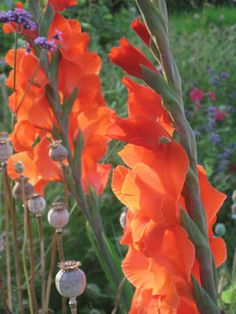 How to Grow Gladiolus: Gladiolus: Gardener's Supply