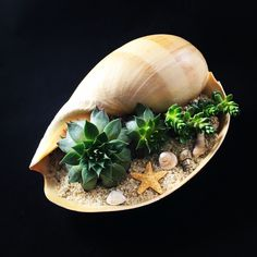 "63 Likes, 13 Comments - Miss Cellaneous (@misscellaneous.ca) on Instagram: ""#melonshell #shells #sand #succulent #succulents # #green #succulentlove #plant#planters #planter…"""