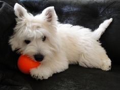 West Highland White Terrier with a toy Westies, Westie Puppies, Cute Puppies, Dogs And Puppies, Doggies, Bichons, West Highland White Terrier, Highlands Terrier, Mundo Animal