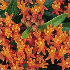 Butterflyweed for 2012