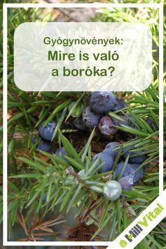 A néphiedelem szerint a boróka elűzi a gonoszt, de nagyon sok betegséget segít távol tartani. A boróka egy nagyon jól kinéző növény, egy tűleveles örökzöld cserje vagy lehet kisebb fa is. Ezen többféle színben pompázó, gömbölyű alakú termések találhatóak. A halványzöld termések már 2-3 év alatt beérnek. Az érett bogyóit már évszázadok óta használják a népi gyógyászatban. Mivel édes, kesernyés íze van, ezért használják fűszerként vagy szárítva. Juniperus Communis, The Cure, Remedies, Herbs, Healthy, Plants, Alternative, Planters, Plant