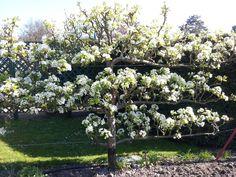 Grey's Court fruit tree