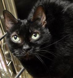 "Name: Sasha Elizabeth Age: 8 years Breed: DSH - Black How I Arrived At NHS: My sisters and I were surrendered because our owners had medical issues and also had to move. Note From An NHS Volunteer: Sasha Elizabeth is a friendly, relaxed, outgoing cat who likes to talk. She knows the command, ""no"" and likes to give kisses. My Favorite Hobby: Laying in the sun and talking to you while you rub her tummy. Good With Kids: I have been around a toddler and did fine. Good With Cats: I lived with…"