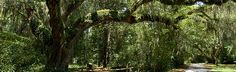 """Bluffton South Carolina & the Hilton Head area are home to a historic tree 350-400 years old/75 feet tall known as the """"Secession Oak"""" or """"Secession Tree"""". Here it was discussed to secede from the Union before the Civil War. Blog post & story are fascinating!"""