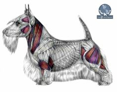 """The Importance of Canine Anatomy - If you want to be like a """"professional groomer,"""" you need to know your dog's anatomy to do it right!"""