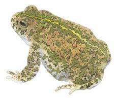 Female common toad, Bufo bufo by ~kvh on deviantART
