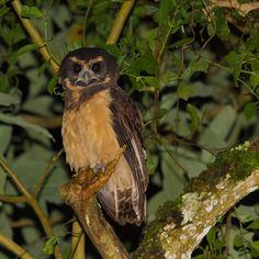 Tawny-browed Owl (Pulsatrix koeniswaldiana) - This Atlantic Forest endemic is found in humid tropical forest from sea level to at least 1500 m, in southeast Brazil to extreme northeast Argentina, and easternmost Paraguay. Generally similar in plumage to the much more widespread Spectacled Owl (Pulsatrix perspicillata), the head and upperparts are largely dark brown, contrasting markedly with the broad buffish-white facial markings, and buffy-orange underparts. The Tawny-browed Owl, like its…